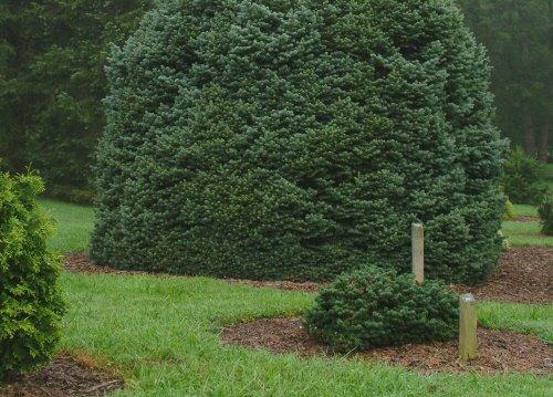 mamutfenyő-óriás-növények