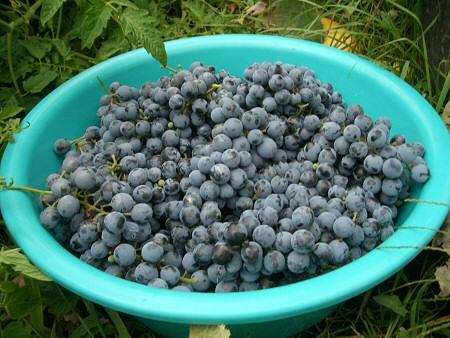 Őszi gyümölcsbefőzés naspolyából, szőlőből, szilvából