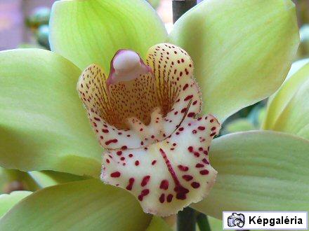 Orchideakiállítás a Vajdahunyadvárban - képgaléria 2007