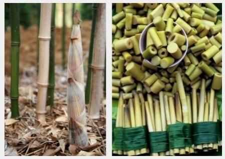 bambusz_rugy