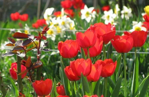 Teendőink tulipánnyílás után