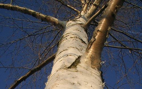 Milyen fa lennél? Fahoroszkópot mutatunk