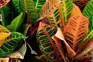 Alokázia, elefántláb, kroton, pikkelyvirág, papagályvirág - a legszebb dekorációs növények