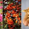 Immunerősítő növények: kasvirág, homoktövis és a ginseng