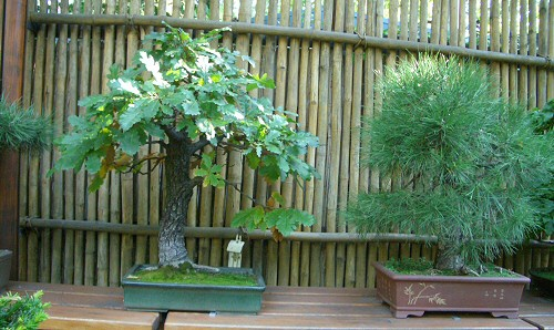 Bonsai-mindentudó: eligazodás a hazai törpefa-kínálatban