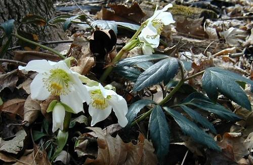 Kora tavaszi hagymások - nem a hóvirág az első!
