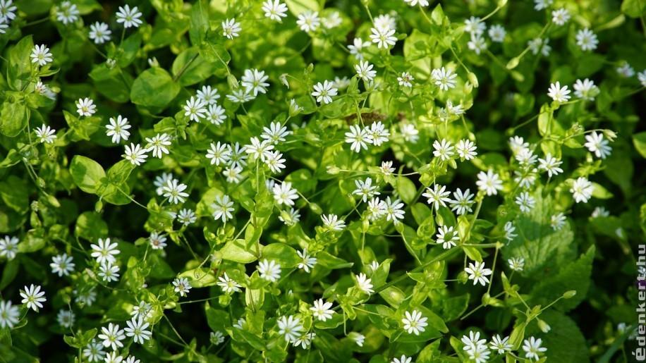 Nagy tavaszi gyomhatározó a kertben