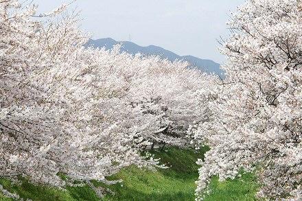 Sakura piknik a Füvészkertben