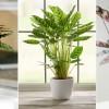 Izgalmas szobanövények tágas fürdőszobákba