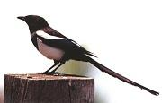 Kötekedő madár a szarka, még a rókát is elzavarja - Videó