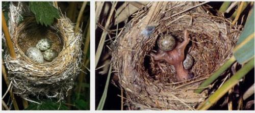 A kakukk szempontjából optimális időben lerakott tojás kel ki a leghamarabb