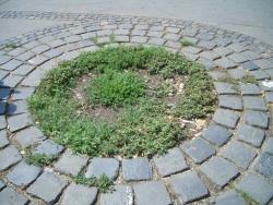 Hogyan segítsünk a senyvedő utcai fáknak?