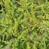 Pollenriadó! Augusztusban kivirágzik a parlagfű
