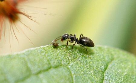 Károsak a kertben a hangyák?