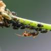 Károsak-e a kertben a hangyák?