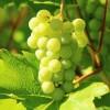 Milyen fehér csemegeszőlőt ültessünk?