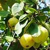 Keleti gyümölcsmoly fertőzés várható szeptember elején