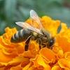 Méhek az atkák ellen