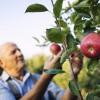 Még mindig tart az alma szedd magad akció!