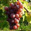 2008-ban olcsóbb a szőlő, mint tavaly és két éve