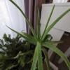 Hol teleltessük az Aloe verát?