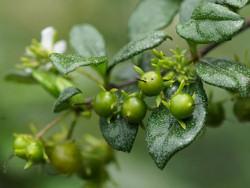 Borágófa: trópusi bonsai az áruházak polcain