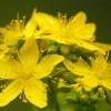 Nyugtató gyógynövények klimax, álmatlanság, depresszió ellen