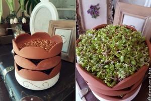 Búzacsíra-kert: csíráztatás az íróasztadon!