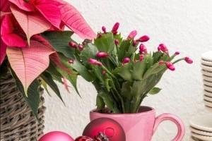 Milyen növények illenek a karácsonyi hangulathoz? Dobd fel a decembered!