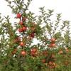 Intenzív almakoronák fenntartása