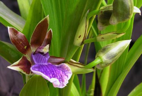 Orchidea gyorstalpaló: mit kezdjünk a Zygopetalum fajokkal?