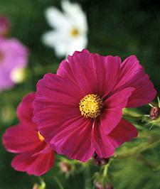 Bemutatjuk a magról legkönnyebben nevelhető egynyári virágokat - 1. rész