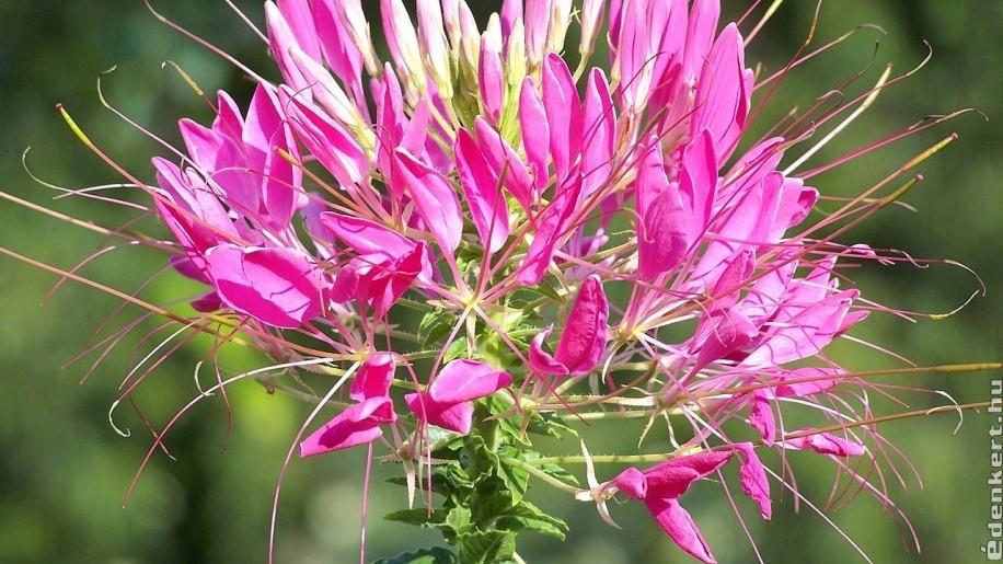 Melyek a magról legkönnyebben nevelhető egynyári virágok?- 1. rész