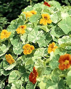 Bemutatjuk a magról legkönnyebben nevelhető egynyári virágokat - 2. rész