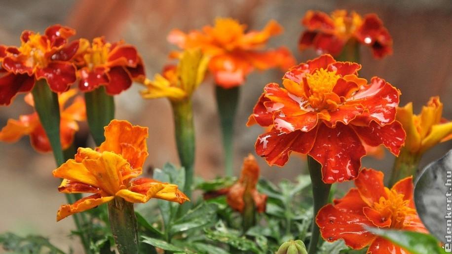 Melyek a magról legkönnyebben nevelhető egynyári virágok? - 2. rész