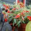 Hogyan ápoljuk a begóniát, hogy folyton virágzó maradjon?