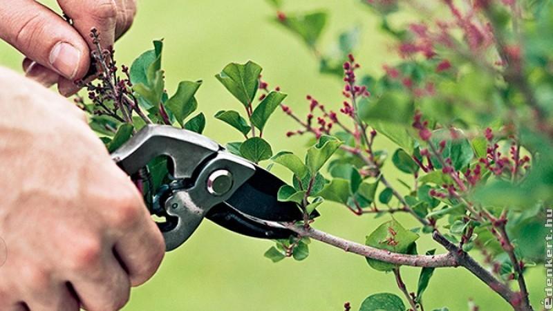 Mikor kell metszeni a tavasszal virágzó fákat és cserjéket