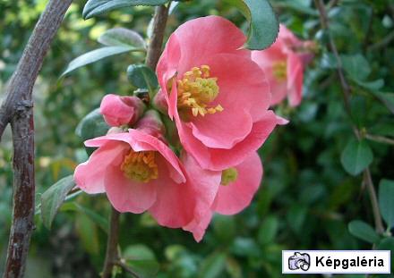 Legszebb tavasszal virágzó fák és cserjék