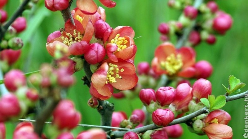 Ők a legszebb kora tavasszal virágzó fák és cserjék