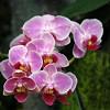 Főnemesi hóbort az orchideatartás?