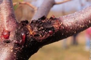 Őszibarackfák télvégi ápolása: a bőséges termés titkai