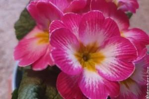 5 jó tanács a primula (kankalin) gondozásához