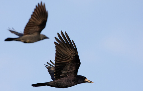 Varjú (ki)csalogató - megoldást találtak a madárvédők?