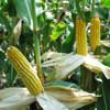 Van génmódosított kukorica hazánkban?