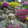 Varjúháj, medvecsenkesz és kristályvirág a sziklakertünkbe