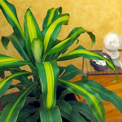 Még 6 strapabíró szobanövény