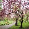 Cseresznyevirágzással ünneplik a tavaszt