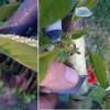 Gyümölcsfák szemzésének tavaszi munkálatai (képek lépésről-lépésre)