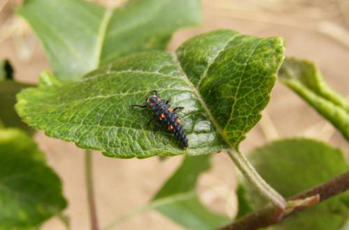 Biológiai védekezés lepkehernyók és bogárlárvák ellen