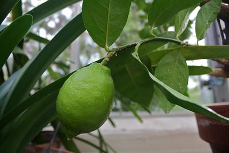 Nem úgy fejlődik a citromfád, ahogy szeretnéd? Itt találod a hibákat!